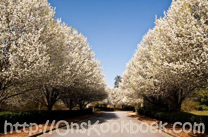 Perenbomen bloesem