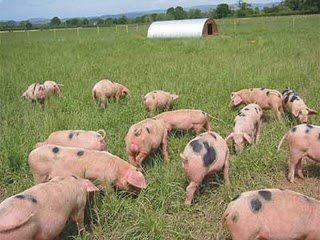 Importverbod Duits Varkensvlees